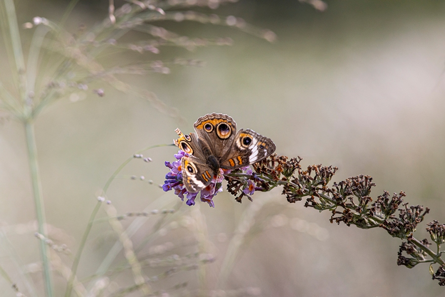 Buckeye Butterfly v1_DM 9 19 300mm