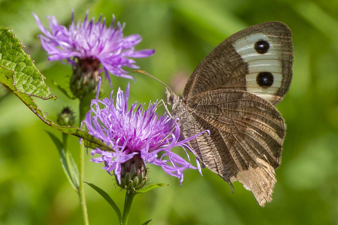 Buckeye Butterfly_v2_PP_43G4620