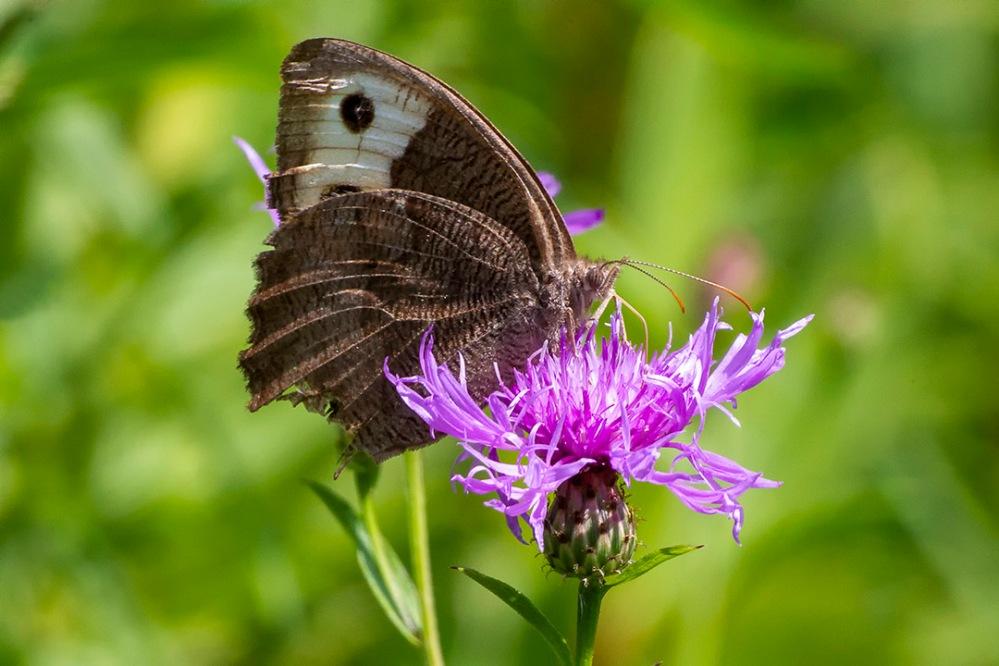 Buckeye_Butterfly v2_43G4564