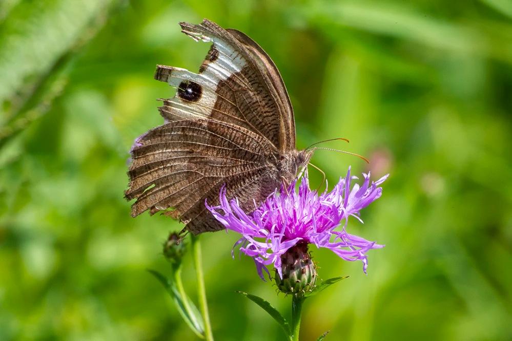 Buckeye_Butterfly_43G4567 v1a