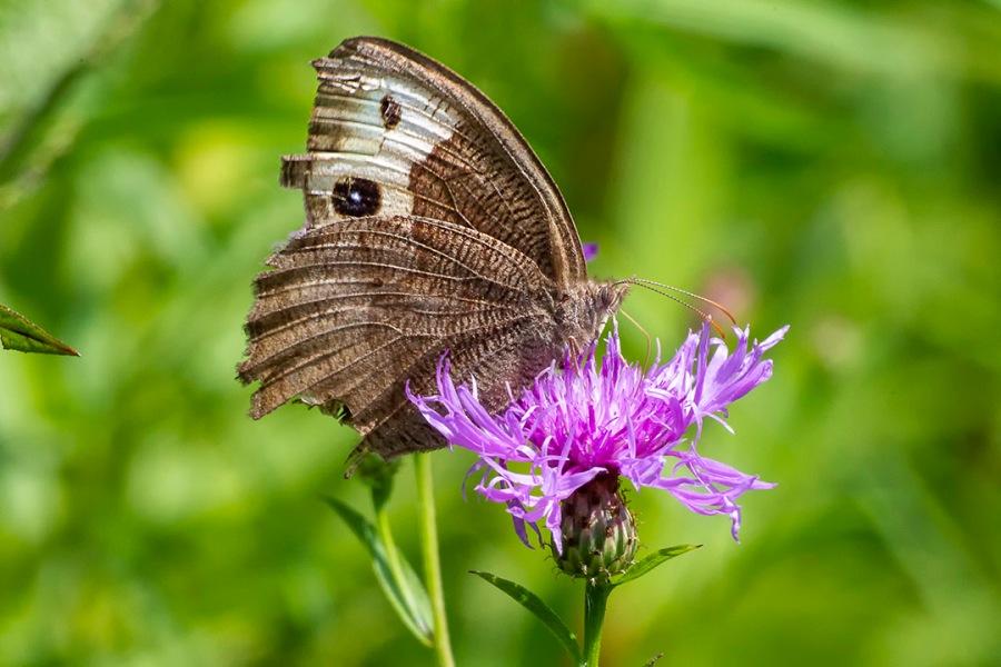 Buckeye_Butterfly_sm_43G4565