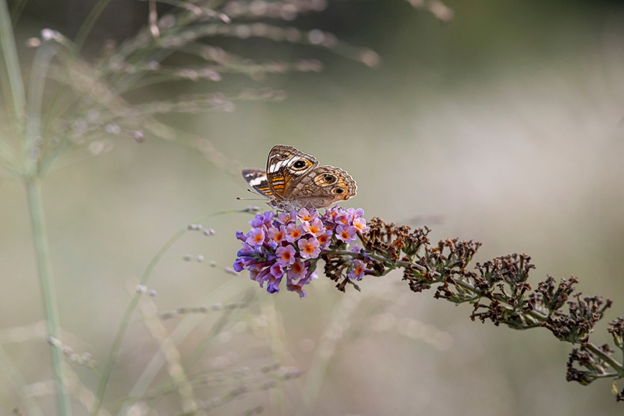 BuckEye_Butterfly_v2_DM 300mm_9_19_76A7196