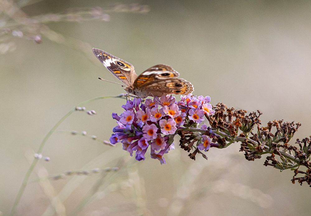 Buckeye_Butterfly_v5 DM 9_19