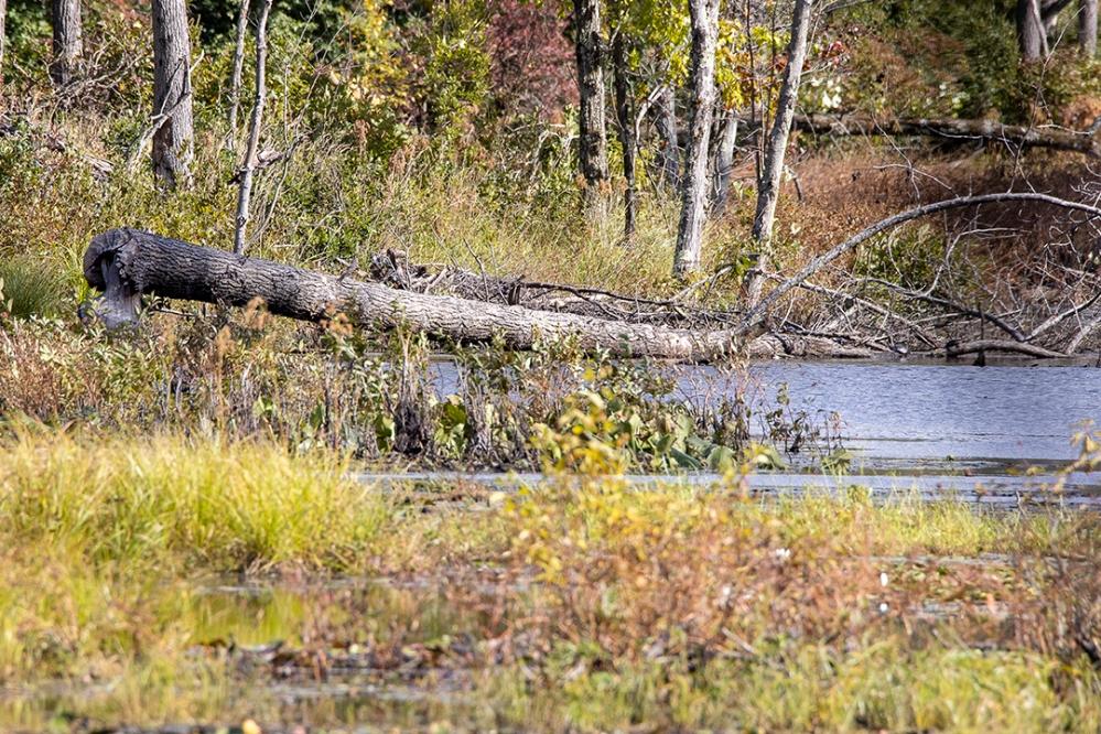 DM_Beaver_Tree_Damage_v2_76A8360