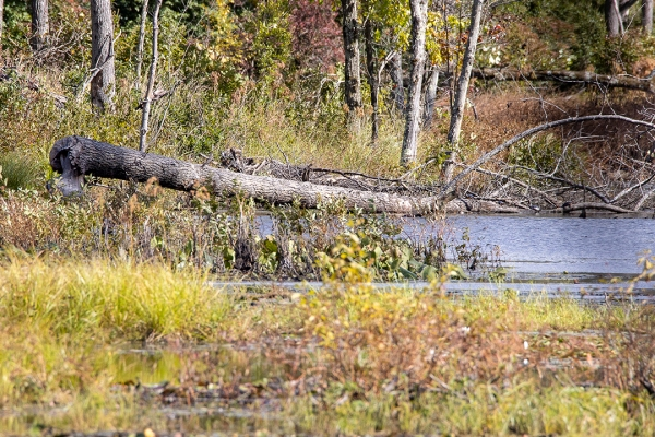 DM_Beaver_Tree_Damage_v2_76A8360