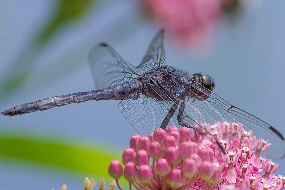 Dragonfly_Slaty_Blue v1_MG_3790