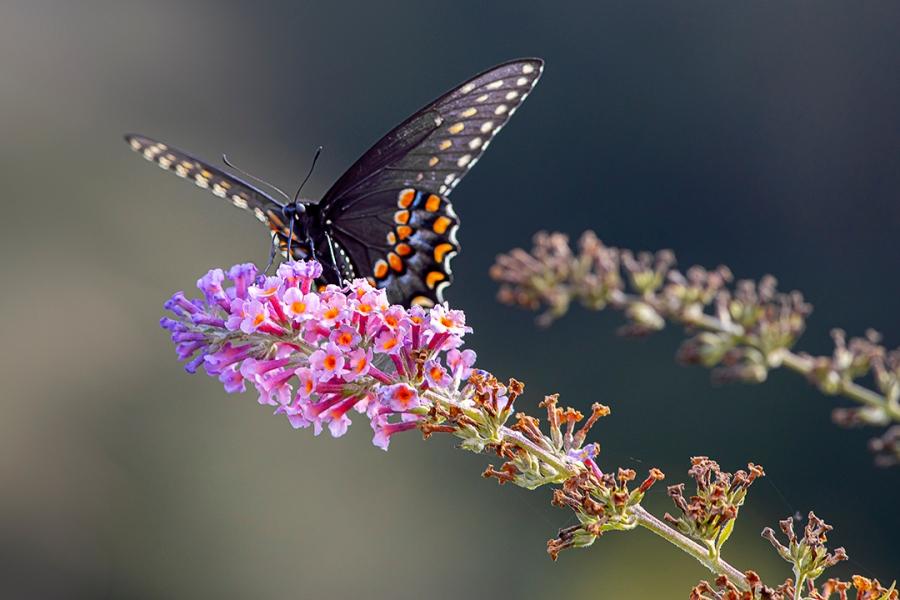 Eastern_Blk_Swallowtail_v2_DM 9_19_76A7190