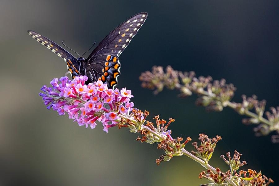 Eastern_Blk_Swallowtail_v3_DB 9_19_76A7185