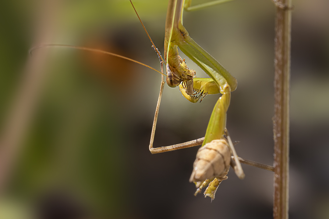 Praying_Mantis_CU_v3_150mm_76A6241
