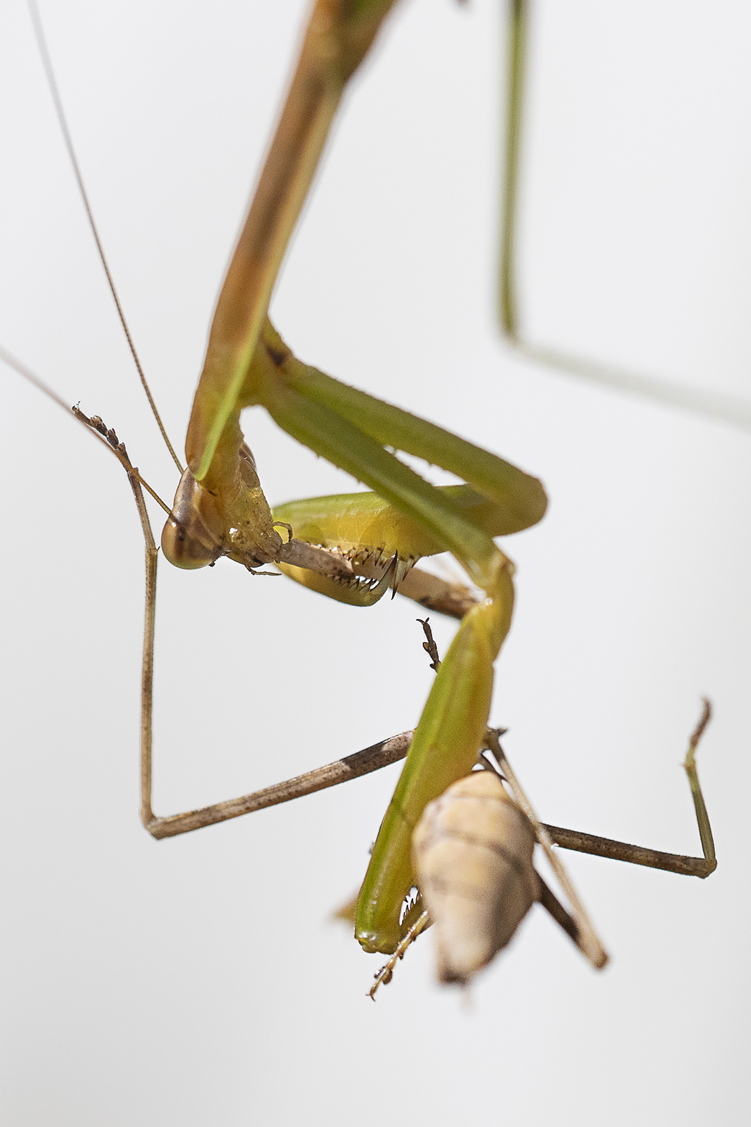Praying_Mantis_Eating_Prey_v3+4X_76A6002