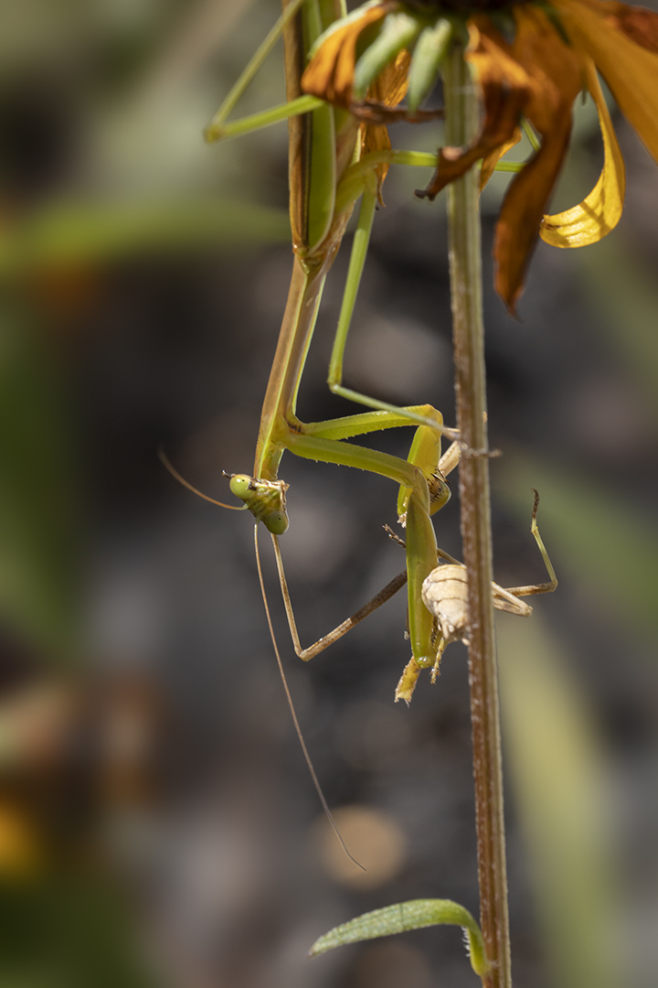 Praying_Mantis_v1_R_w_150mm2x_76A5950