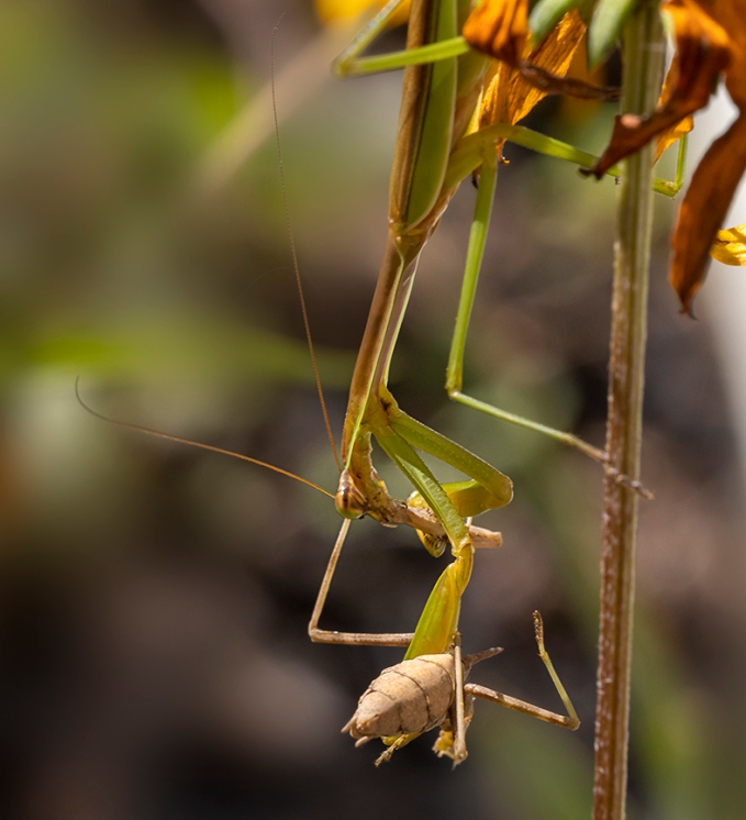 Praying_Mantis_v2_Yard_150mm_76A6087
