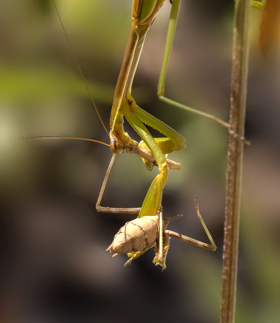 Praying_Mantis_v4_9_19_150mm_76A6083