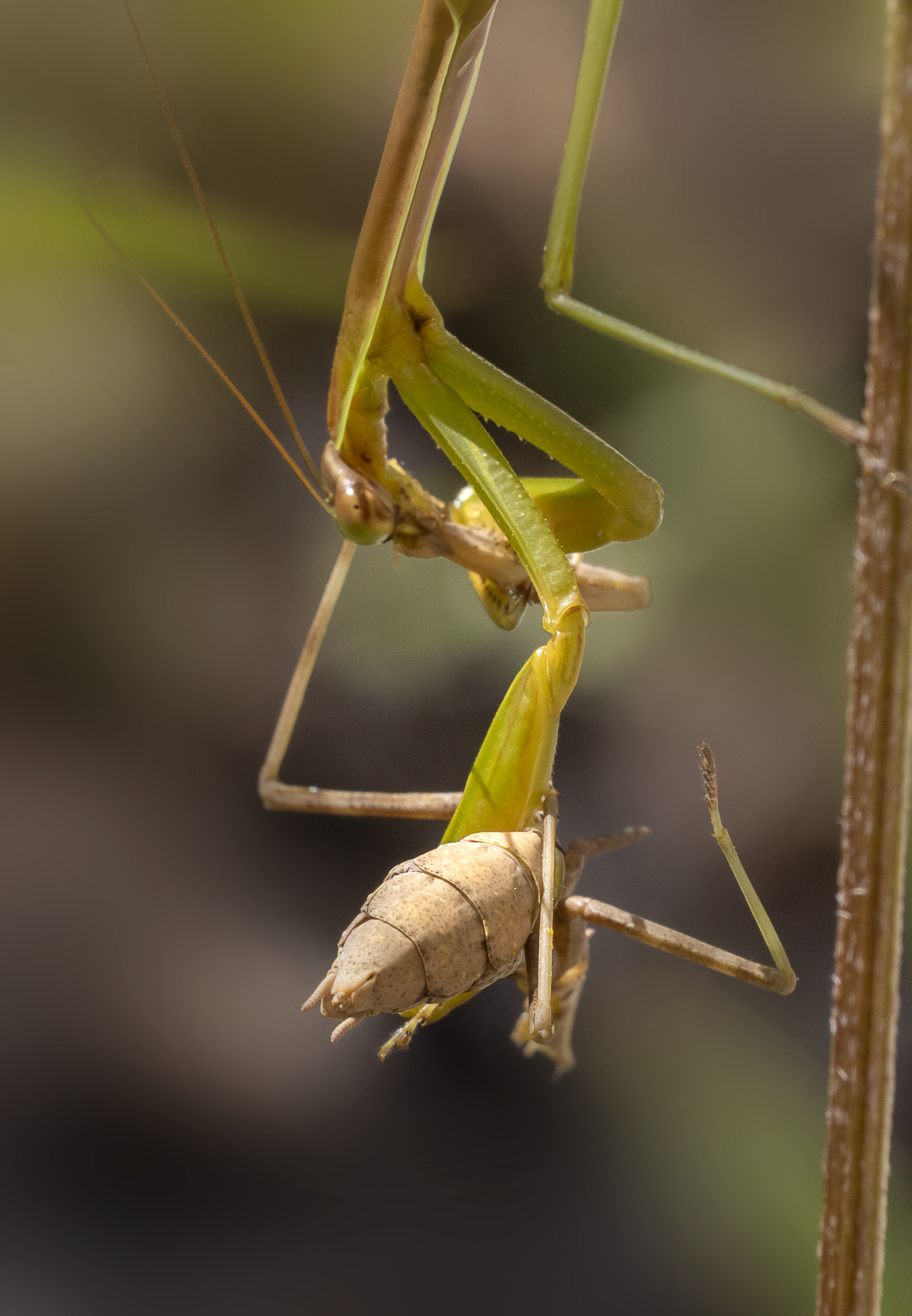 Praying_Mantis_yrd_v2_9_19_150mm_76A6080
