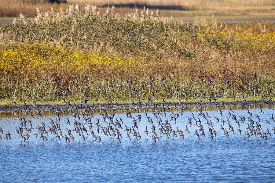 Shorebirds in Flight_v1_BH_9_19_150mm_76A0084