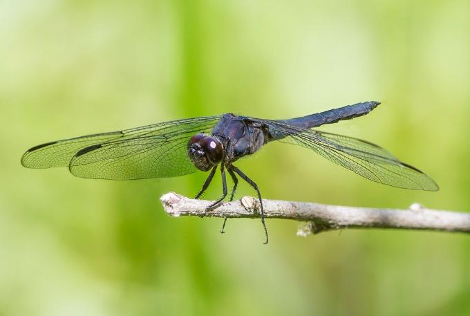 Slaty Blue Dragonfly v1 3 img stack