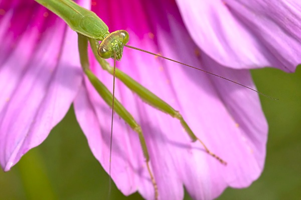 Praying Mantis_v4_150mm_76A3412