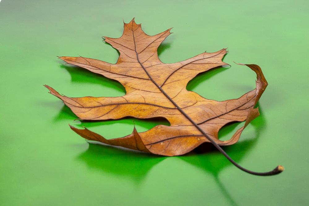Oak Leaf_f32_test_76A1118