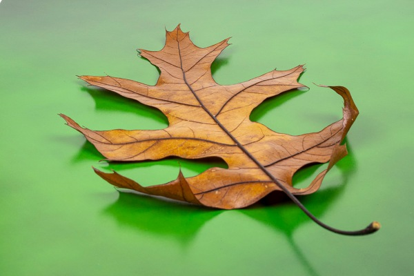 Oak Leaf_f32_test_76A1118