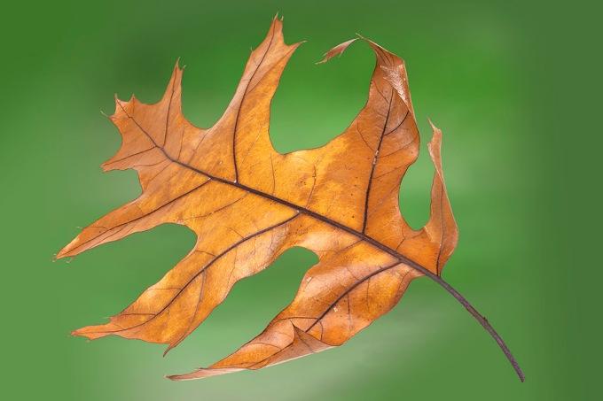 Oak_Leaf_10ing stk f8 v3
