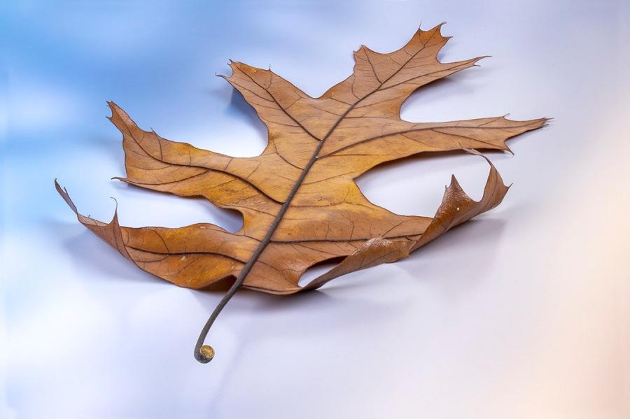 Oak_Leaf_3img stk_f32_v1