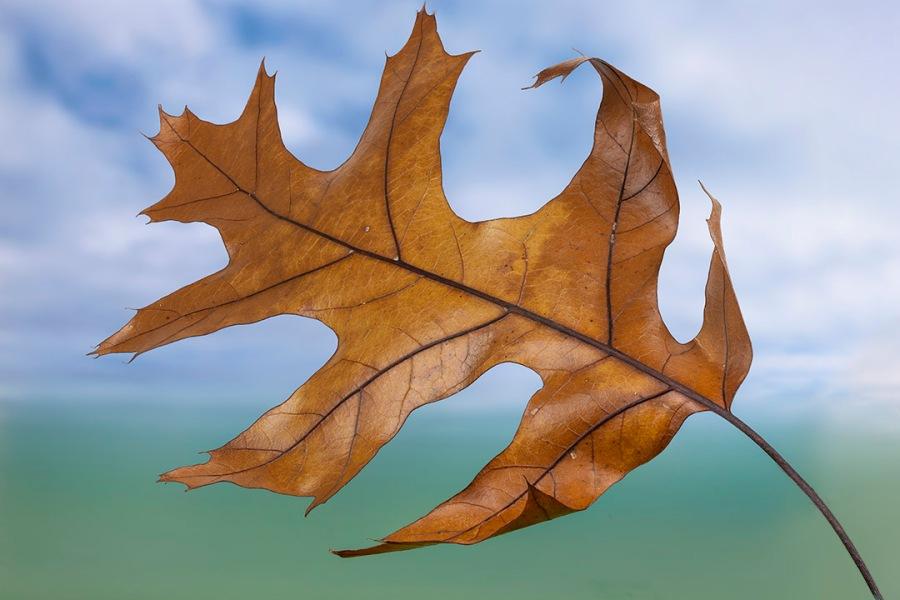 Oak_Leaf_8img stk_f8