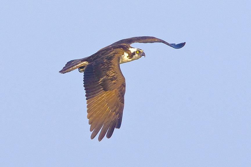Osprey v1_BWR_MA_9190