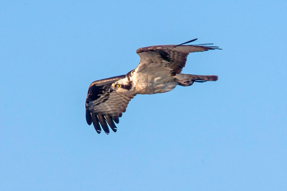 Osprey v2_BWR_MA_1135