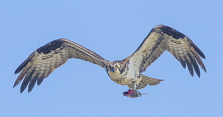 Osprey_w_lunch v3 Brig_MG_5903
