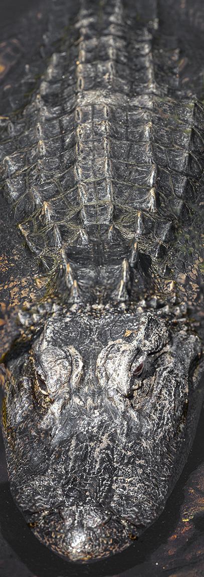 Alligator_2img vert_pano_v2_400mmUntitled-1