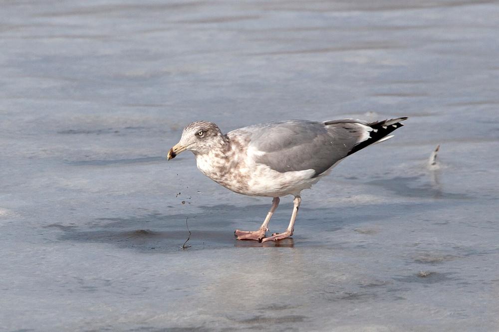 Gull_on_ice_v2_MG_3638