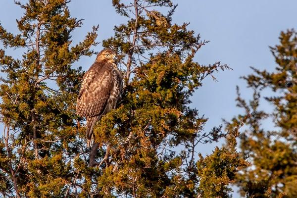 Hawk in Tree_v2_Brigantine_400mm 20D_v1MG_3549-2