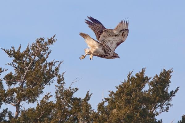 Hawk_v1_TakeOff_v2_Brig 400mm_20D_9_09_MG_3735