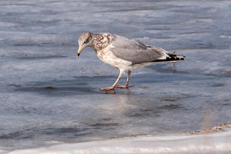 Ring_billed_Gull_2nd_Winter_v2_400mmBrig_09_09__MG_3636