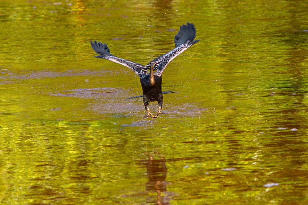 Anhinga_v1_DD__300mm_1_4X_MG_2771
