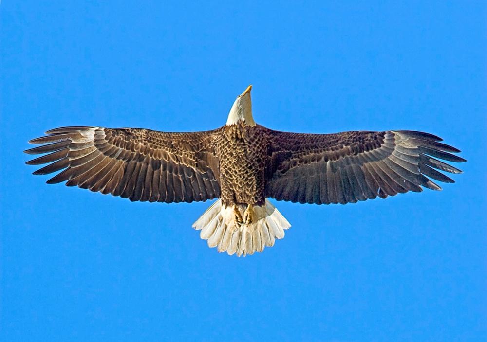 Bald_Eagle_v2_BWR_80I0145A