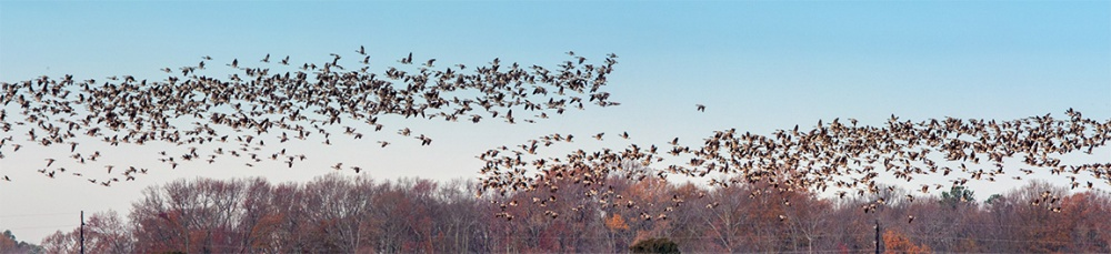 Canada_Geese_Pano_4img_BWR_v1_sm