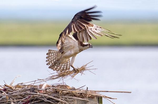 Osprey leaving_Nest_v1_brig_MG_4784