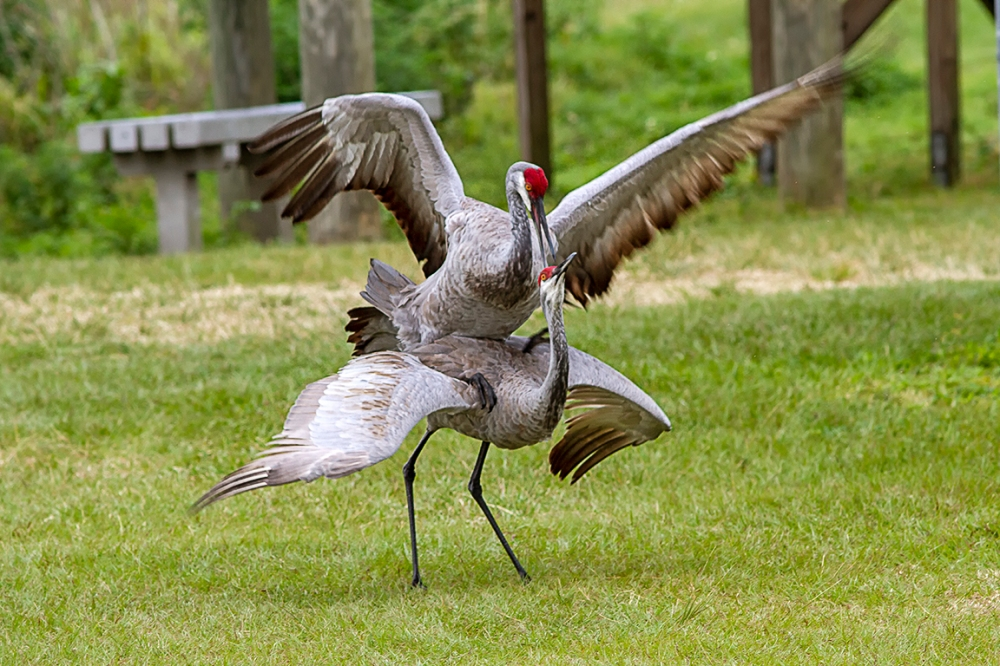 Sandhill_Cranes_Mating_v2_LW_7D_300mm_MG_7193