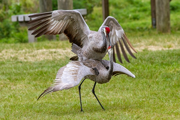 Sandhill_Cranes_Mating_v2_LW_7D_300mm_MG_7194