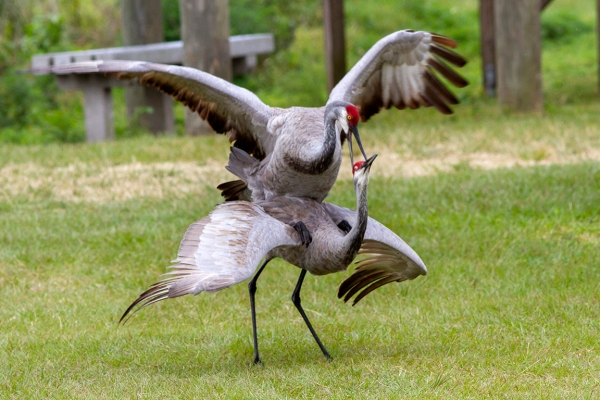 Sandhill_Cranes_Mating_v2_LW_7D_300mm_MG_7195