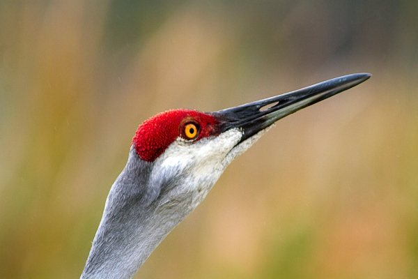 Sandhill_Cranes_Portrait_v1_LW__7D_300mm_MG_7978