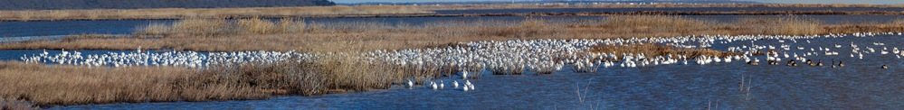 Snow_Geese_16img_Pano_400mm_1_4X_v1