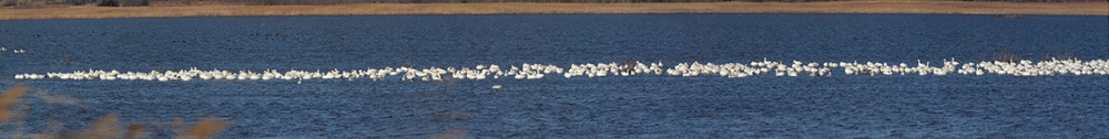 Snow_Geese_20img_pano_400mm_108in