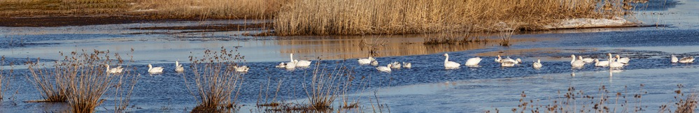 Snow_Geese_panoD_11img_99inch