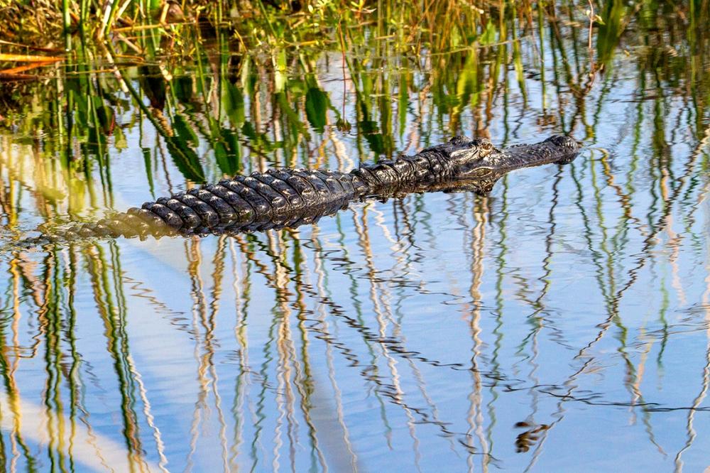 Alligator_v1_LW_7D_226mm