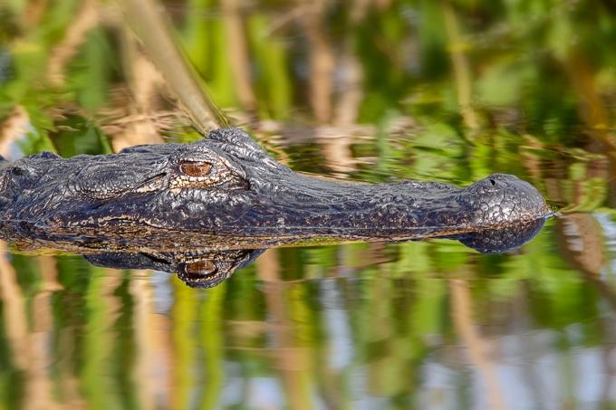 Alligator_v2_softer Bkg_LW_1_20_7D_600mm_MG_0373