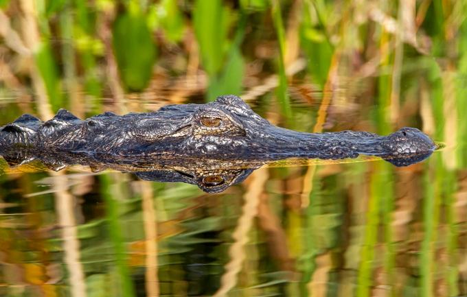 Alligator_v3_LW_1_20_7D_600mm_MG_0360