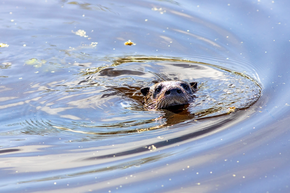 River_Otter_v1_LW_R_076A2082