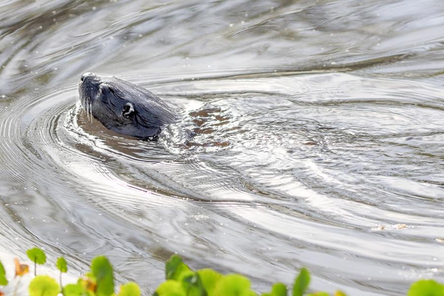 River_Otter_v2_R_076A2070